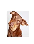 Ausų Valiklis Šunims - Ciucikas.lt
